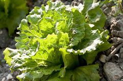 Organic lettuce Royalty Free Stock Photography