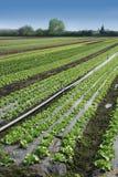 Organic lettuce Stock Photography