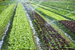 Organic lettuce being watered on the field Royalty Free Stock Images