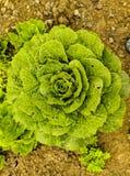 Organic lettuce closeups. Shot nature stock photos