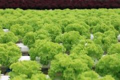 Organic lettuce cultivation farm Stock Image