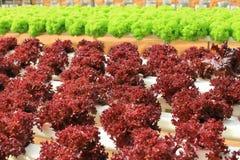 Organic lettuce cultivation farm Royalty Free Stock Image