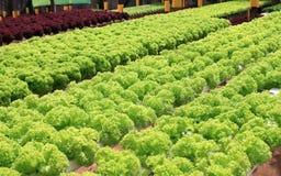 Organic lettuce cultivation farm Royalty Free Stock Photo