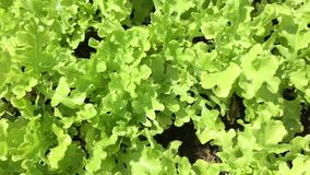 Organic lettuce field stock footage