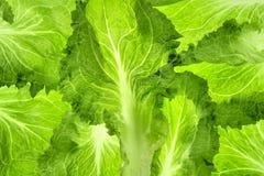 Organic lettuce Royalty Free Stock Image