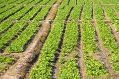 Organic lettuce garden Royalty Free Stock Images