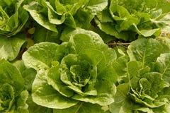Organic lettuce garden Stock Photography