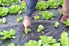 Organic Lettuce Growing in Greenhouse Stock Images