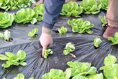 Organic Lettuce Growing in Greenhouse. Man hand planting lettuce seedlings in greenhouse Stock Images