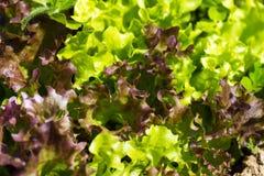 Organic Lettuce Stock Image
