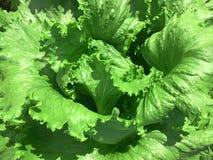 Organic Lettuce plant Royalty Free Stock Image