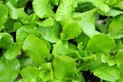 Organic lettuce plant Royalty Free Stock Photos