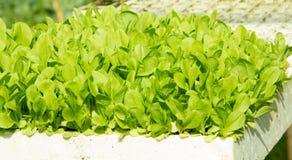 Organic Lettuce Seedlings Royalty Free Stock Images