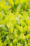 Organic  lettuce seedlings. young leaf vegetables growing up Stock Photos