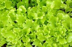 Organic lettuce trees Stock Photography