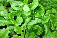 Organic lettuce trees Royalty Free Stock Photo