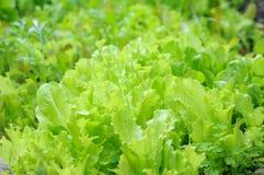 Organic lettuce trees Royalty Free Stock Image