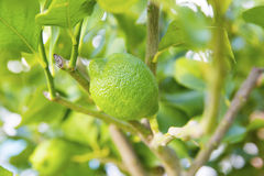Organic lime tree Royalty Free Stock Photo