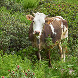 Organic livestock farming with cow. (Bos primigenius taurus) on a pasture in the Alps Royalty Free Stock Photos