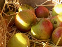 Apples nestled in a bed of straw in a wooden box
