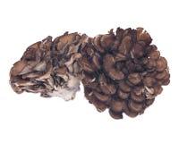 Organic maitake immune enhancing medicinal mushroom. Hen of the wood isolated on white background Stock Image