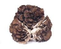 Organic maitake immune enhancing medicinal mushroom. Hen of the wood  on white background Stock Photography