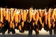 Organic maize crop. Corn autumn harvest Stock Images
