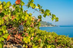 Organic 'mali Plavac' grapes in local vineyard, Dingac Borak village, Peljesac Peninsula, Dalmatia, Croatia. Photo of Organic 'mali Plavac' grapes in local stock photos