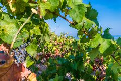 Organic 'mali Plavac' grapes in local vineyard, Dingac Borak village, Peljesac Peninsula, Dalmatia, Croatia. Photo of Organic 'mali Plavac' grapes in local royalty free stock images