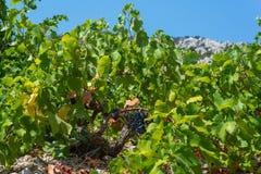 Organic 'mali Plavac' grapes in local vineyard,Trstenik village, Peljesac Peninsula, Dalmatia, Croatia. Photo of Organic 'mali Plavac' grapes in local vineyard stock images
