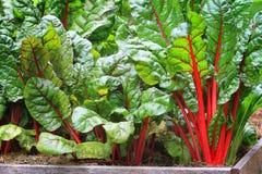 Organic mangold Stock Photo
