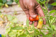 Organic mature Hand of a young men harvesting mature tomatoes. Royalty Free Stock Images