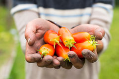 Organic mature Hand of a young men harvesting mature tomatoes. Royalty Free Stock Photos
