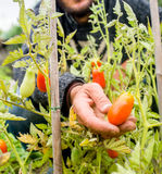 Organic mature Hand of a young men harvesting mature tomatoes. Stock Photos