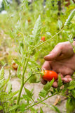 Organic mature Hand of a young men harvesting mature tomatoes. Stock Photography