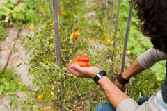 Organic mature Hand of a young men harvesting mature tomatoes. Stock Photo