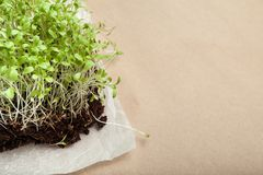 Organic micro greens grown at home. Empty space for text royalty free stock photo