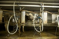 Organic Milking Parlor Stock Images