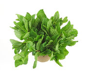 Organic mint herb in a planting pot Royalty Free Stock Image