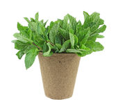 Organic mint herb in a planting pot Stock Photo