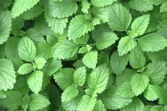 Organic mint (Mentha sp.) Stock Photography