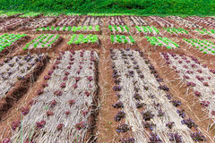 Organic mixed salad vegetables in plantation Stock Images