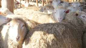 Organic and natural long-term farming sheeps and lambs in morning sunlight - new organic growing methods to alternative stock video footage