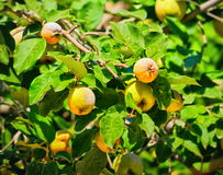Organic natural quince apples on the tree at fall. Quince on branch. Organic natural quince apples on the tree at fall Royalty Free Stock Image