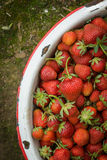 Organic Natural Red Strawberries, Strawberry in Enamel Pa Stock Photography