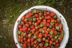 Organic Natural Red Strawberries, Strawberry in Enamel Pa Royalty Free Stock Photo