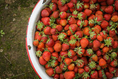 Organic Natural Red Strawberries, Strawberry in Enamel Pa Royalty Free Stock Image