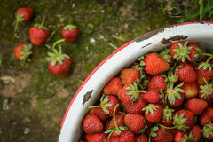 Organic Natural Red Strawberries, Strawberry in Enamel Pa Stock Photos