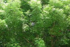 Organic Neem tree Royalty Free Stock Image