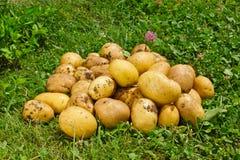 Organic new potatoes on green grass Stock Photo